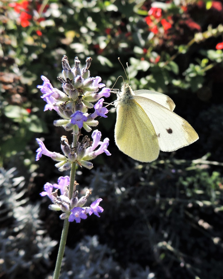 Cabbage White butterfly October 18, 2017