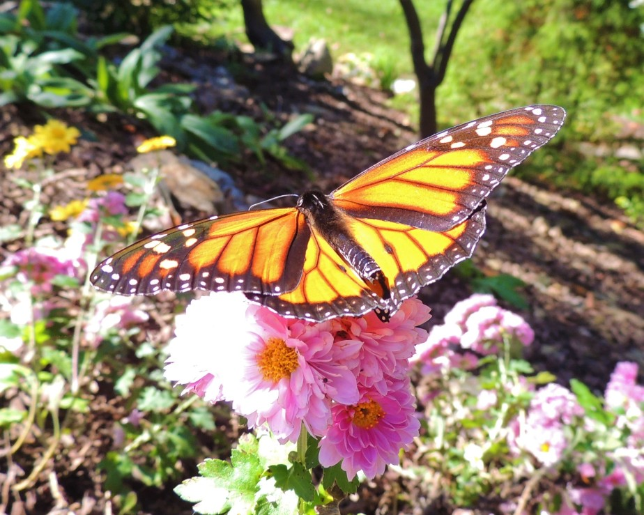 Monarch butterfly October 18, 2017