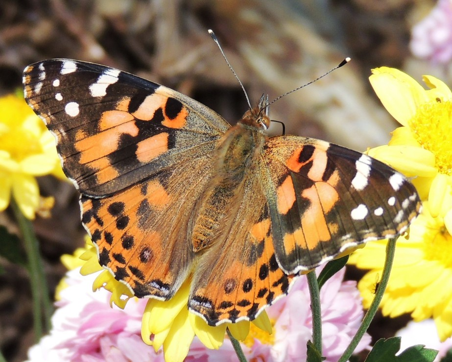 American Painted Lady October 21, 2017