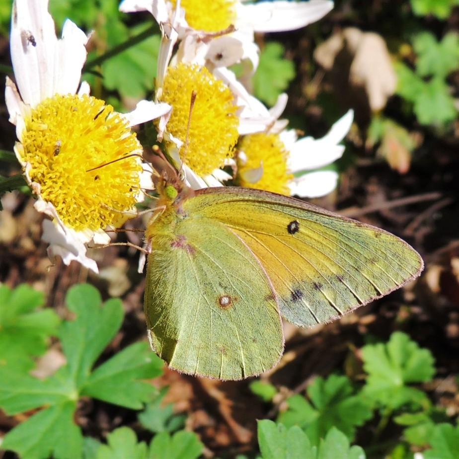 Alfalfa butterfly October 21, 2017
