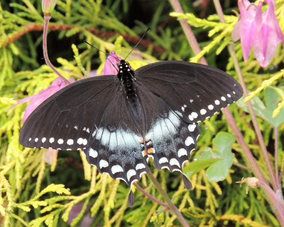 Spicebush Swallowtail June 4, 2017