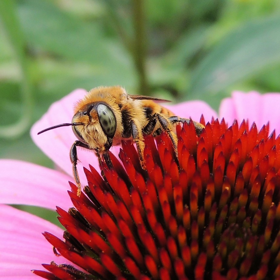 Pennsylvania native bee on Echinacea flower