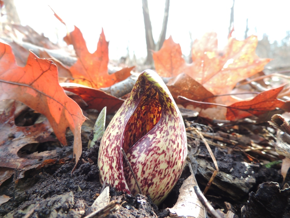 Skunk Cabbage – the plant world's modernism