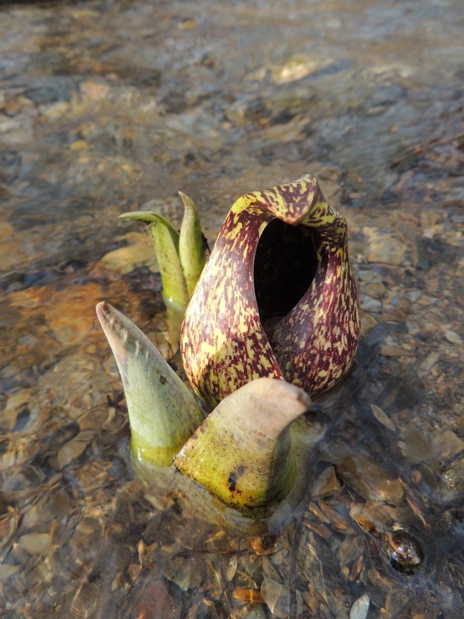 Skunk cabbage Symplocarpus foetidus