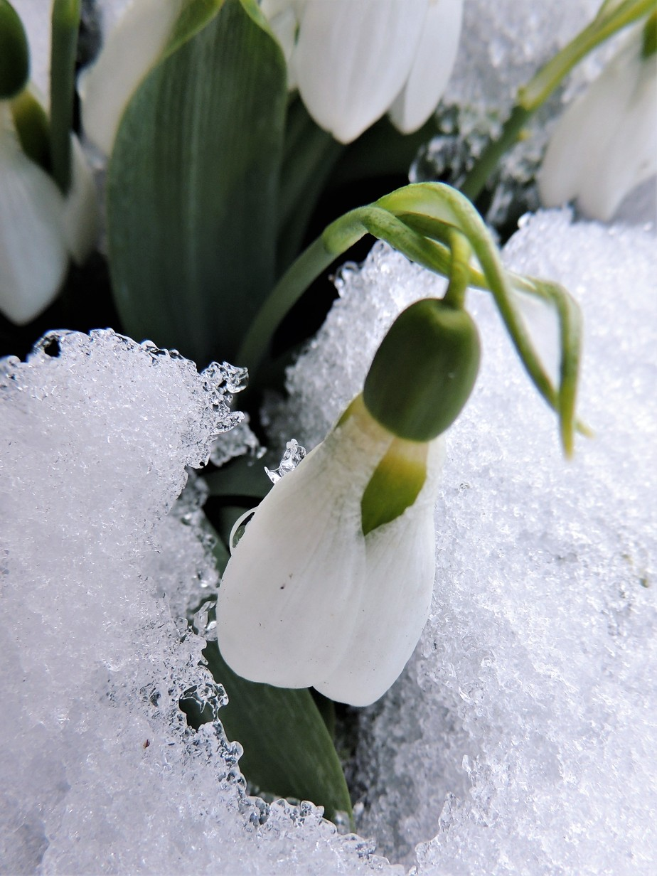 Single snowdrop in snow