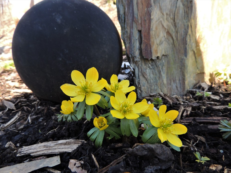 Bowling ball and Winter aconites