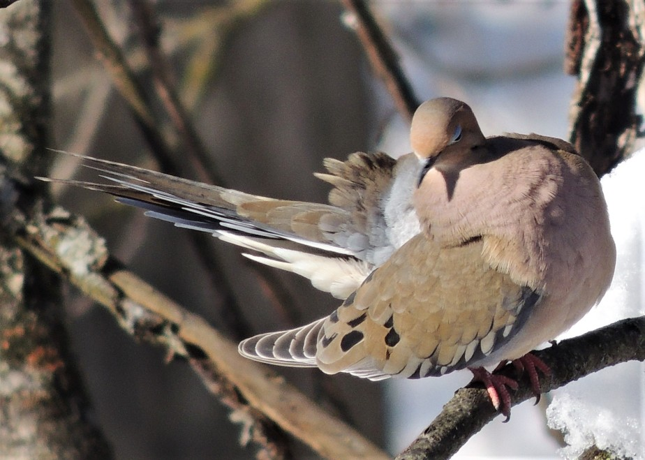 Mourning Dove 2-18-2018
