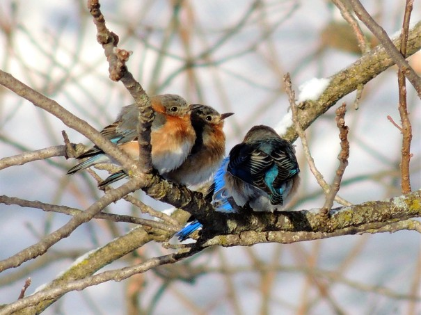 Eastern Bluebirds 3-22-2018