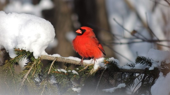 MARCH 22, 2018 Male cardinal on Norway pine