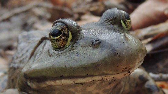 APRIL 12, 2018 female bullfrog