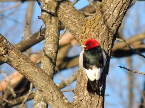 Red- headed woodpecker 1-7-2018