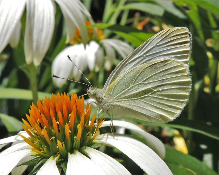 Cabbage white on white cone flower 2