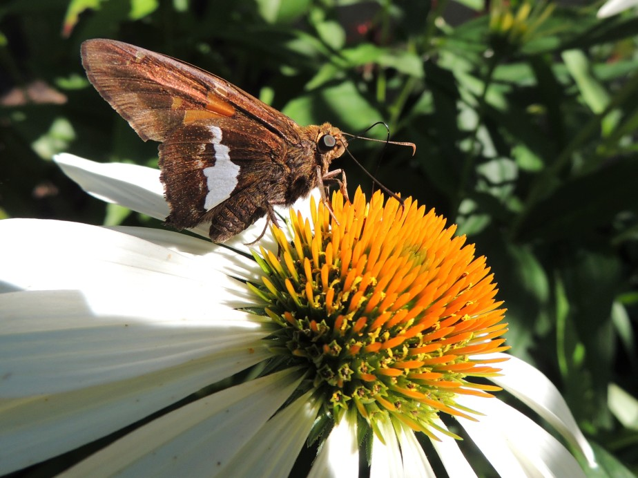 Silver-spotted skipper on white cone flower