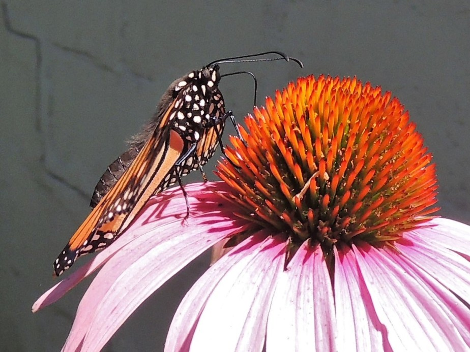 Monarch on pink cone flower
