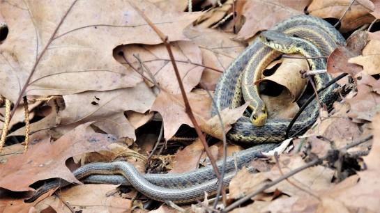 FEBRUARY 21, 2018 Entwined garter snakes