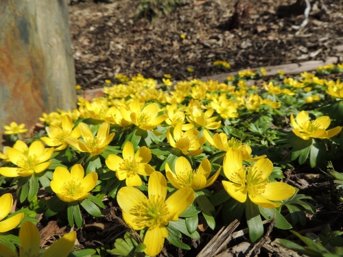MARCH 2018 Winter aconite at the standing stone