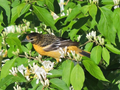 MAY 21, 2018 Female Baltimore Oriole in Honeysuckle bush