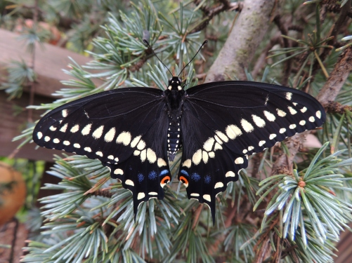 AUGUST 7, 2018 Black swallowtail butterfly