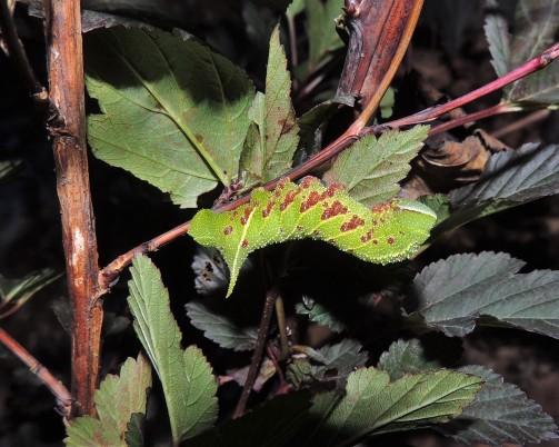 SEPTEMBER 3, 2018 Blinded Sphinx moth caterpillar