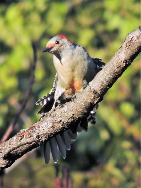 SEPTEMBER 2018 Red-bellied woodpecker on sumac