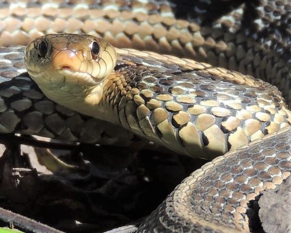 OCTOBER 23, 2018 Garter snake in lower gardens