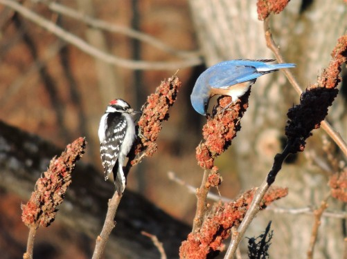DECEMBER 19, 2018 Bluebird and Downy woodpecker on sumac