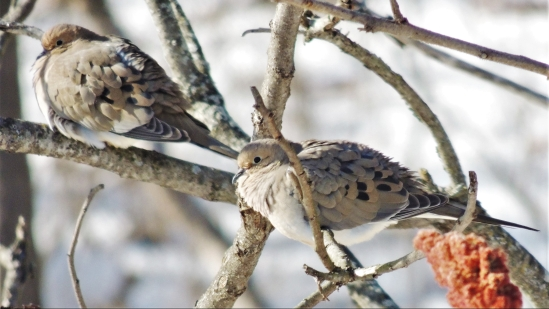 JANUARY 2018 Mourning doves on Staghorn sumac