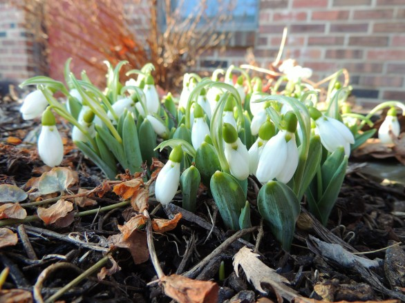 Snowdrops in front of home