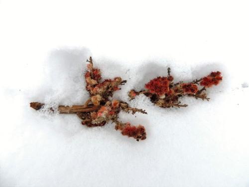Sumac berries in the snow