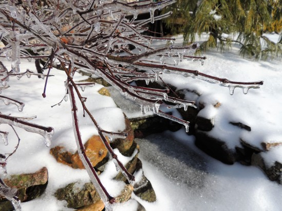Laceleaf maple encased in ice