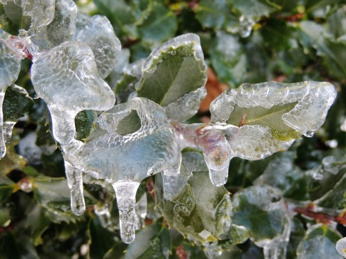Holly leaves encased in ice