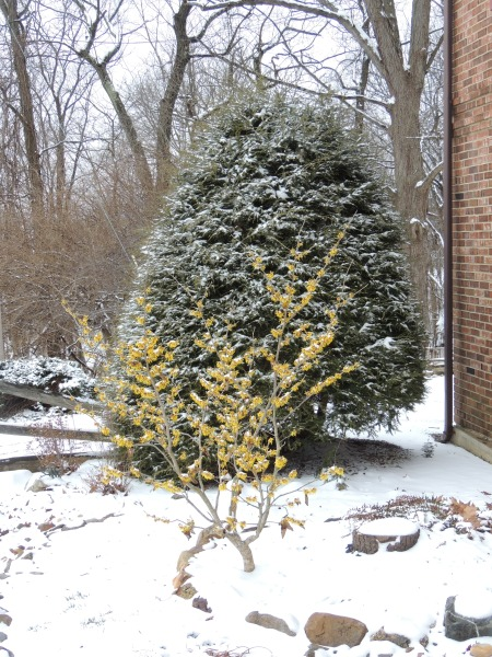 A dusting of snow on the Witch hazel