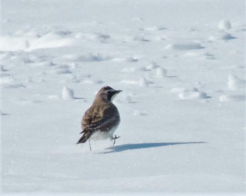 Horned-lark on frozen corn field
