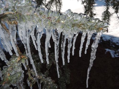 Ice encased Norway spruce