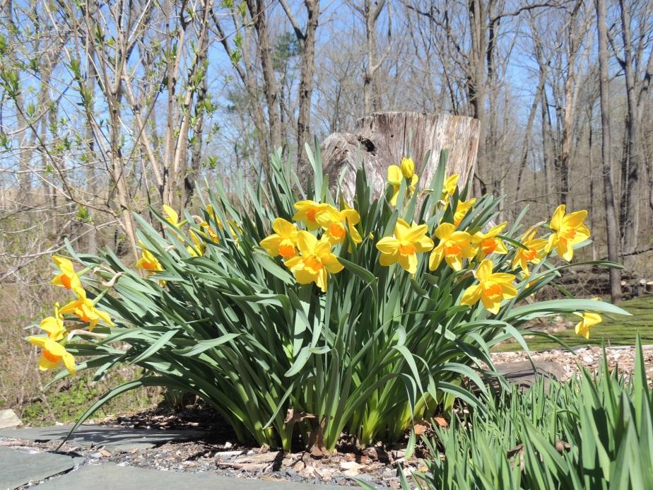Daffodils 2019
