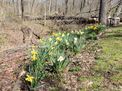 Daffodils by the stream