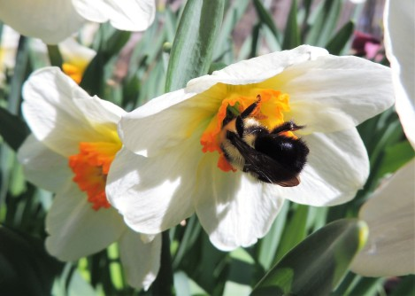 Daffodils and the bumblebee