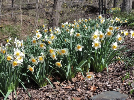 """""""Children"""" of the daffodils from a friend"""