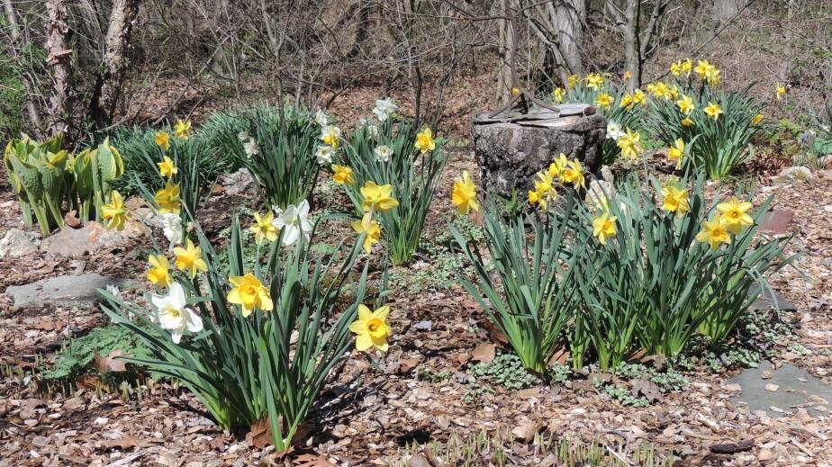 Daffodils in lower gardens