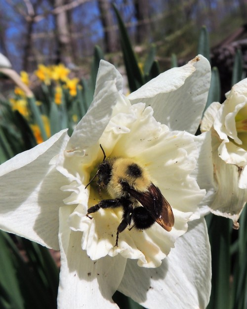 Bombus and the daffodil