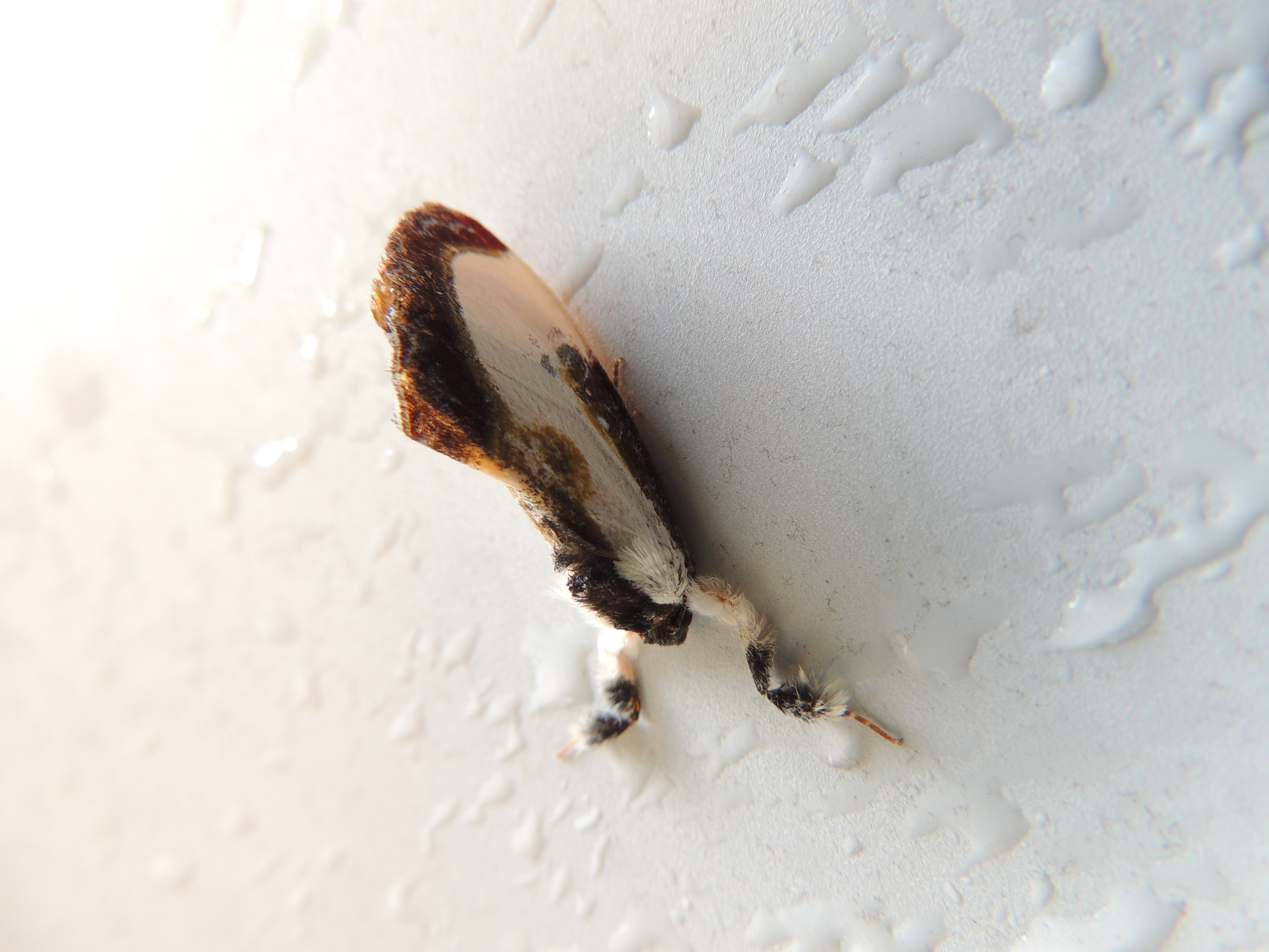 Wood Nymph Moth