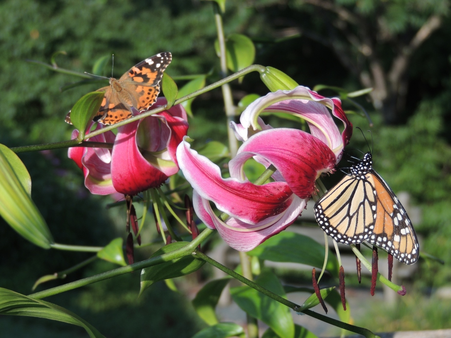 American Painterd Lady and Monarch butterfly