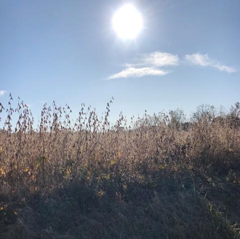 Rising sun over soybean field